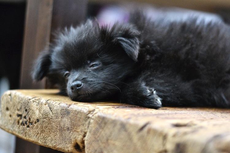 mittelspitz_puppy_kleinspitz_dog_littledog_yellowmood 3 (1)