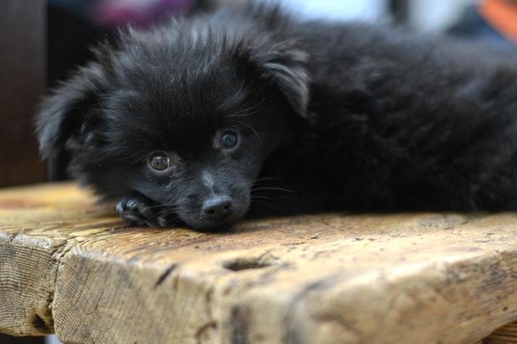 mittelspitz_puppy_kleinspitz_dog_littledog_yellowmood 2 (1)