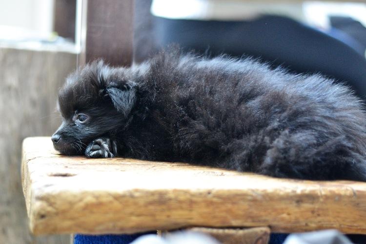mittelspitz_puppy_kleinspitz_dog_littledog_yellowmood 1 (1)
