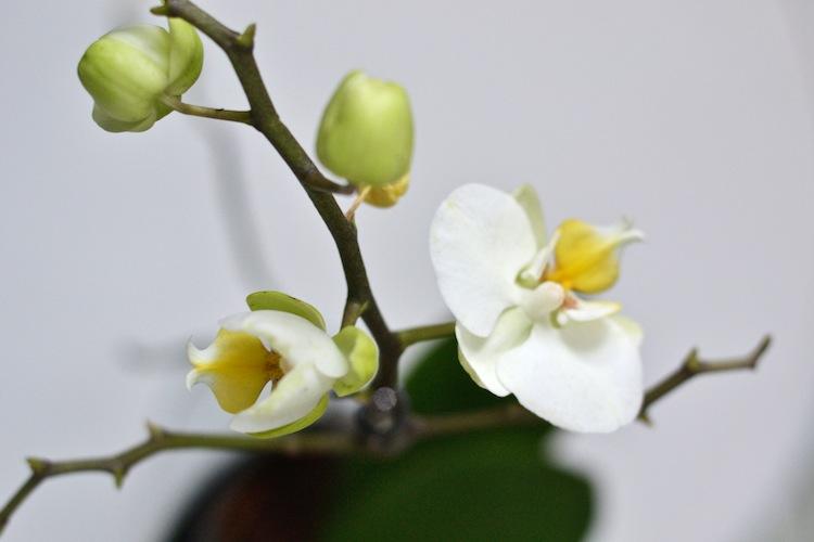 mittelspitz_yellowmood_lifestyleblogi_sisustus_orkidea 4
