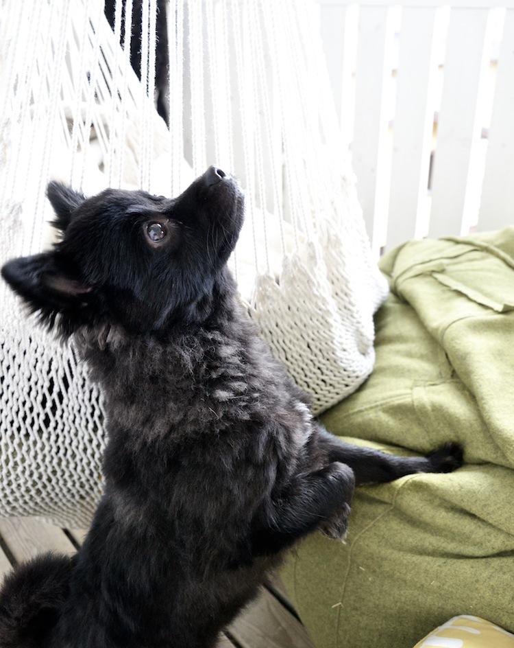 hannamarirahkonen_yellowmood_mittelspitz_japanisechin-puppy 2