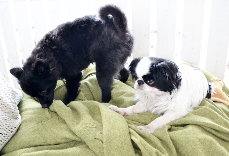 hannamarirahkonen_yellowmood_mittelspitz_japanisechin-puppy 1