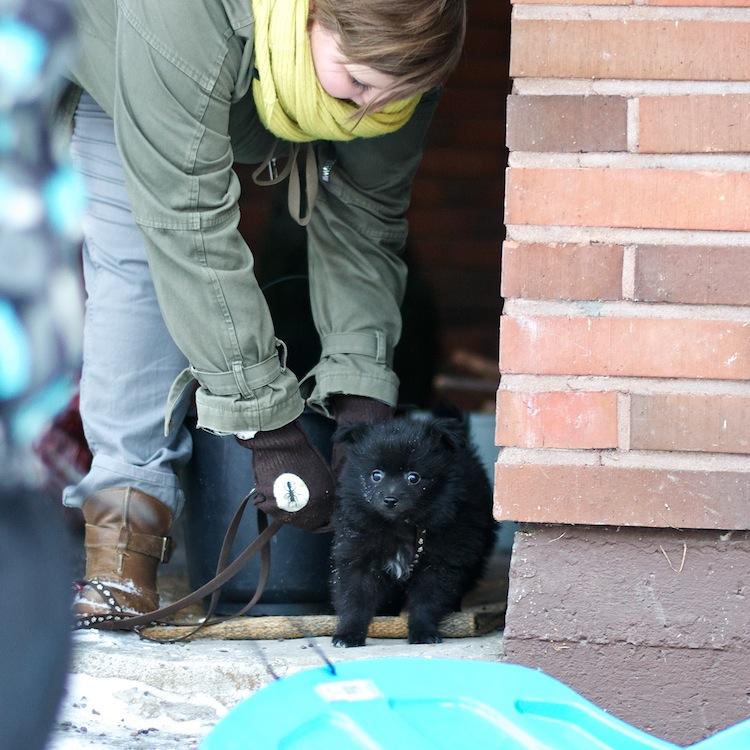 mittelspitz_puppy_kleinspitz_dog_littledog_yellowmood 2
