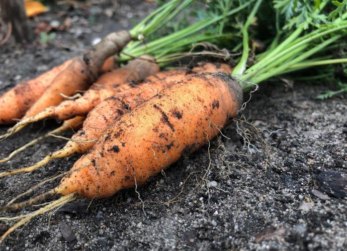 porkkana ja aurinko