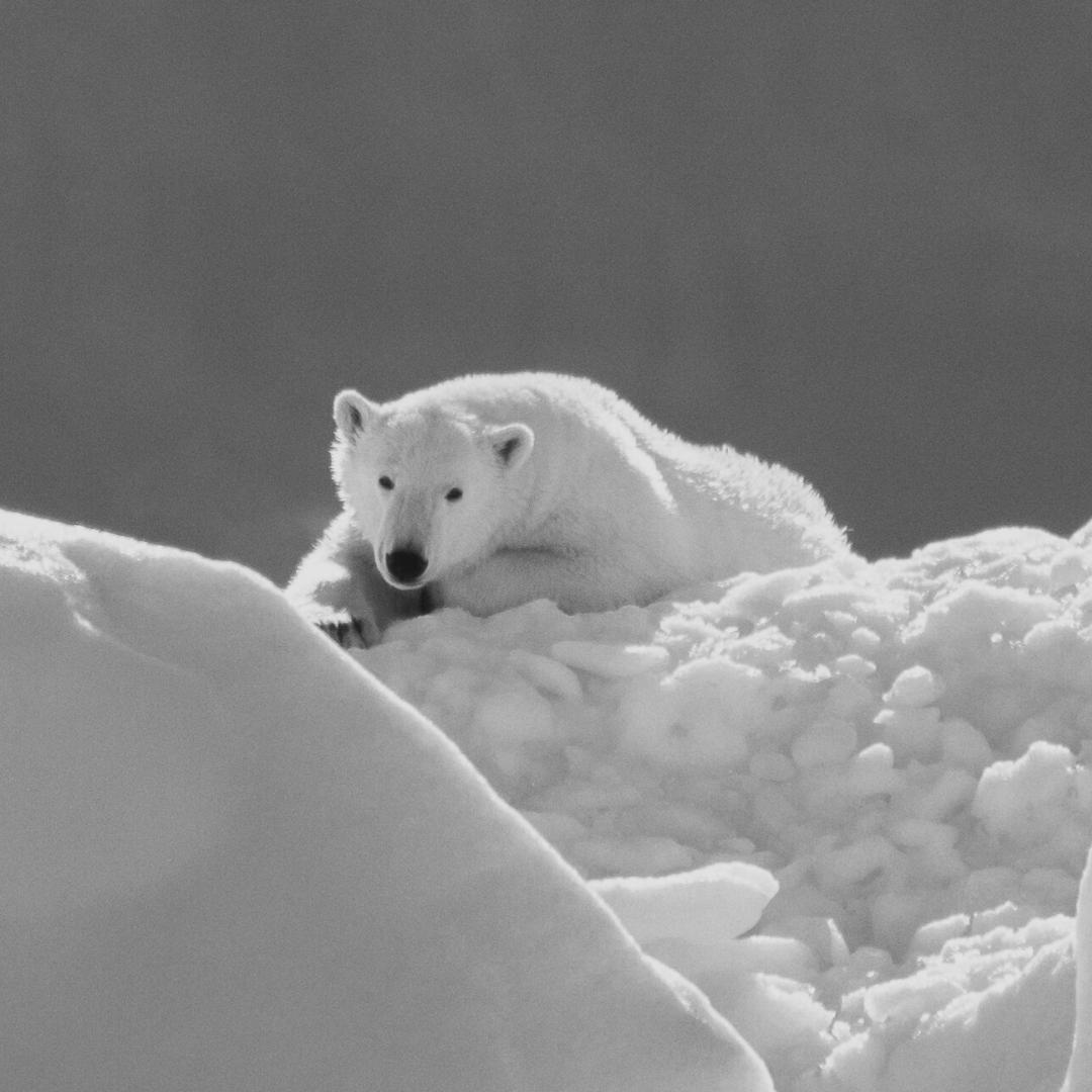 jääkarhu jäällä